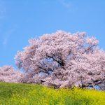 中国地方で人気の桜の名所は?お花見スポットランキングTOP21!