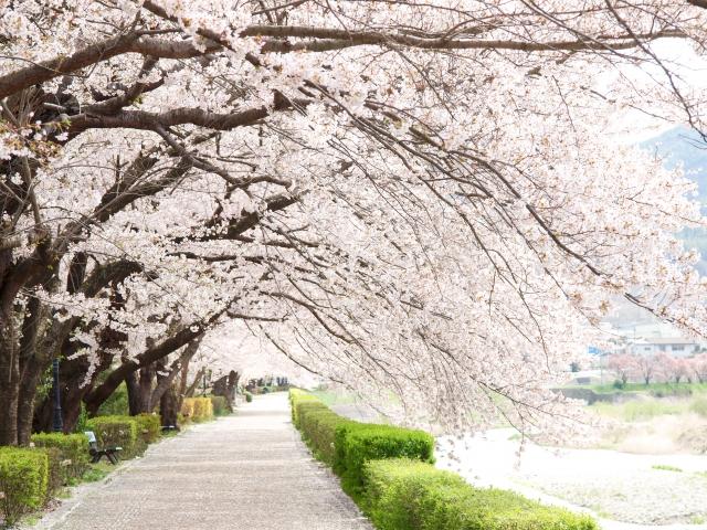 関西で人気の桜の名所は?お花見スポットランキングTOP28!