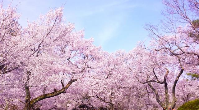 四国で人気の桜の名所は?お花見スポットランキングTOP19!