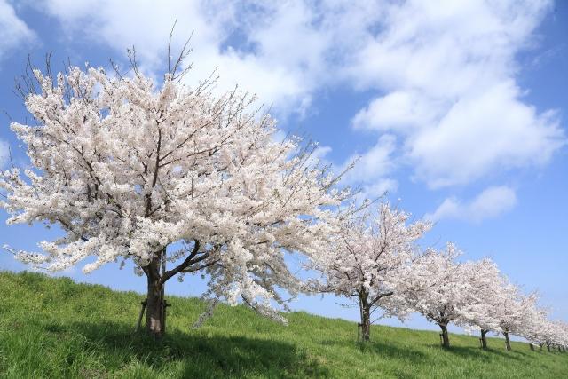 北陸地方で人気の桜の名所は?お花見スポットランキングTOP19!