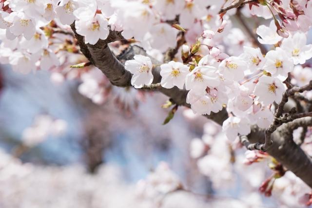 甲信越地方で人気の桜の名所は?お花見スポットランキングTOP16!