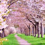 【桜の名所】東北のお花見スポットランキング!人気No.1はどこ?