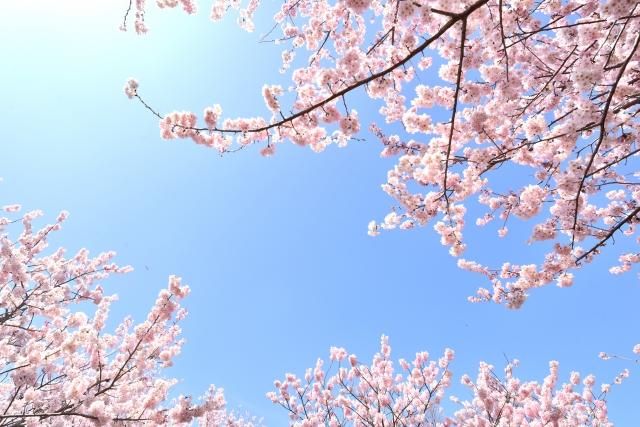 【桜の名所】関東のお花見スポットランキング!人気No.1はどこ?